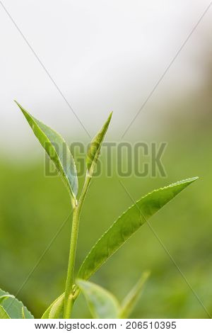 Fresh Green tea leaves in a tea plantation at morning sunlight. Nature of Chiang Rai Thailand