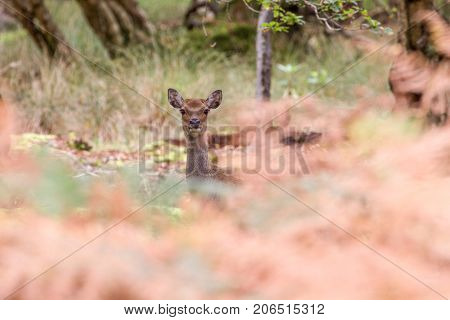 Sika Deer In Beautiful British Autumn Woodland