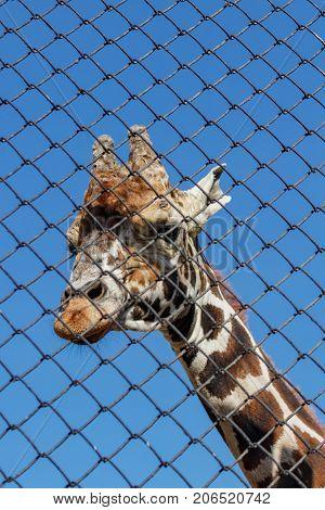African Giraffe In An Enclosure At The Zoo. Giraffa Camelopardalis