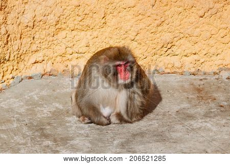 Adult Male Monkey Is Sitting On The Floor