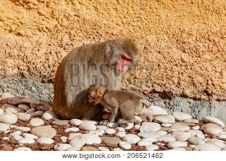 Young Monkey With Mother Sitting On Stones