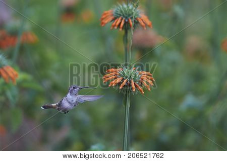 Oasis Hummingbird (Rhodopis vesper) in flight, feeding on orange flowers at the Hummingbird Sanctuary in the Azapa Valley near Arica in northern Chile.