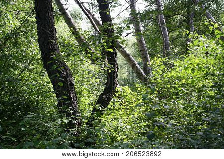 Y-shaped tree trunks emerge from thick bushes.