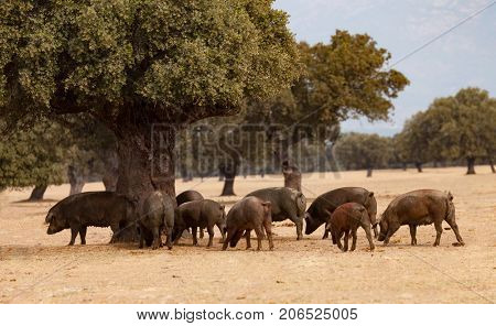 Iberian pigs grazing among the oaks in the field of Extremadura