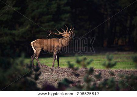 Rear View Of Red Deer Stag (cervus Elaphus) In Rutting Season.