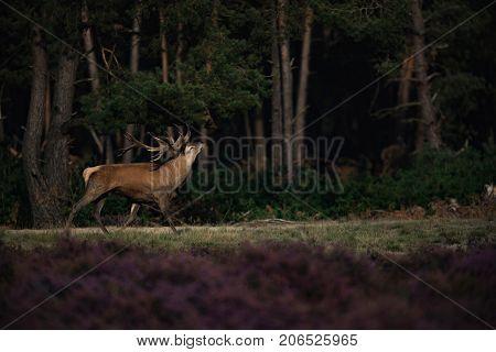 Muscled Red Deer Stag (cervus Elaphus) In Moorland In Rutting Season.
