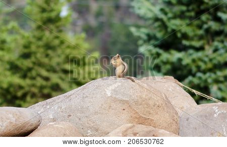 Little chipmunk on a rock in the forest