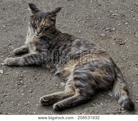 Cat lay on the road. Cat rests. Gray cat. Pet on the street. Homeless animal