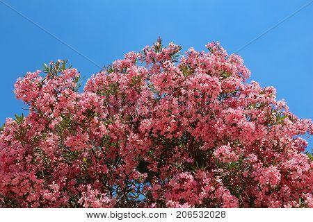 Large Oleander