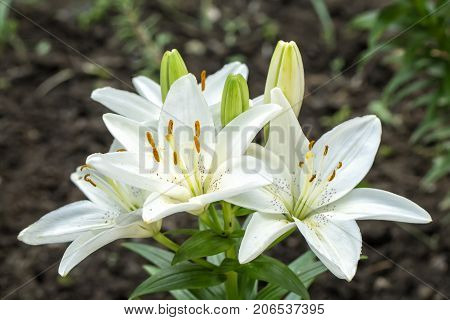 Three White Lilium flowers in nature. Close up