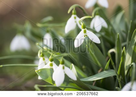 Bunch of Snow drops flowers in nature. Close up, macro