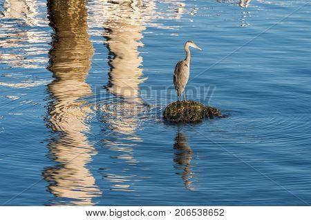 Great blue heron (Ardea herodias) in Vancouver Harbour British Columbia Canada