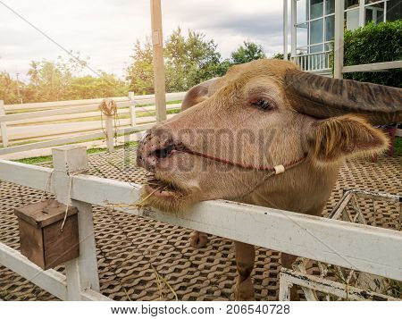 Thai albino water buffalo eating straw in stable