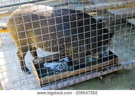 Wild boar in a cage in zoo