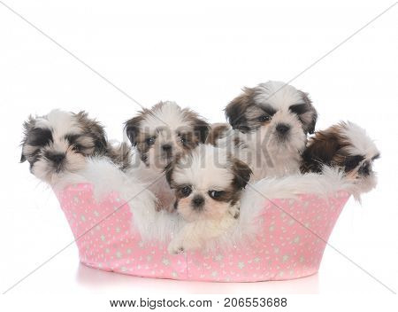 litter of shih tzu puppies in a bed
