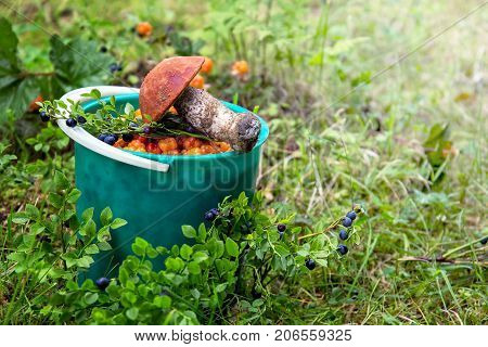 Picking mushrooms and berries. Mushroom cloudberry and blueberry