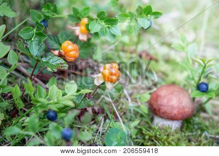 The cloudberry grows in the forest. Karelia. Russia