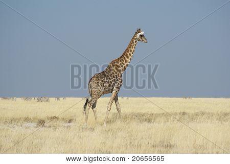 Giraffe walking in Etosha National Park