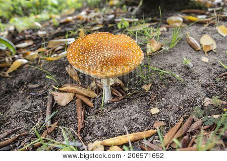 The psychoactive mushrooms Amanita Muscaria commonly known as fly agaric or fly amanita