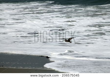 The bird, flying above the braking waves