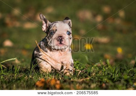 Horizontal photo of a merle colored English bulldog puppy with bright blue eyes running in the green grass towards the camera