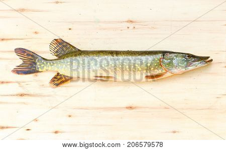 The Northern Pike - Esox Lucius. Fishing catch, harvest of fish pond. Fishes are source of tasty meat appropriate for diet.