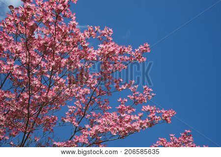 Beautiful pink dogwood tree in springtime, blue sky