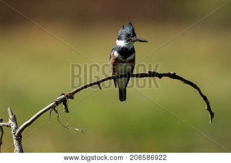 Kingfisher perched on twig near Hauser Lake Idaho.