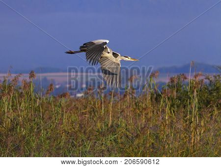 Grey heron, ardea cinerea, flying upon redds by day, Neuchatel, Switzerland