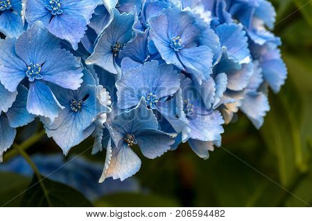 Blue hydrangea flower in bloom closeup macro