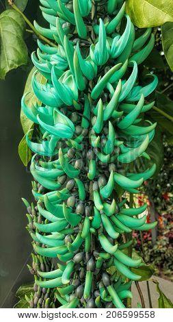 Unusual Jade vine flower grows in the tropics of Cairns