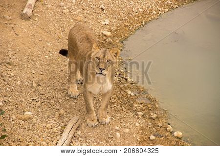 An adult beautiful lioness stands by a watering place on dried grass