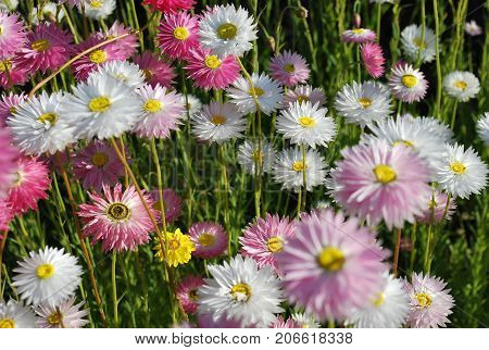 Close up of pink and white everlasting daisies showing yellow eye and delicate petals at the sunset