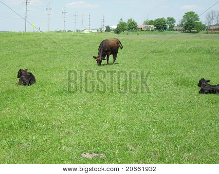 Farm land with cows