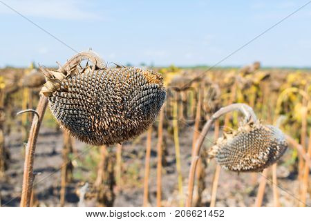 Field of ripe sunflowers ready for harvesting