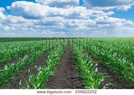 Rows of corn on the field in early summer