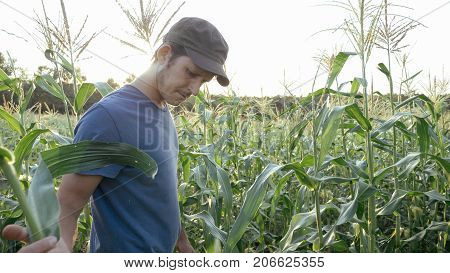 Young farmer checking progress of corn cobs growth on the field of organic eco farm. Man checking corn cob for ripe and pests