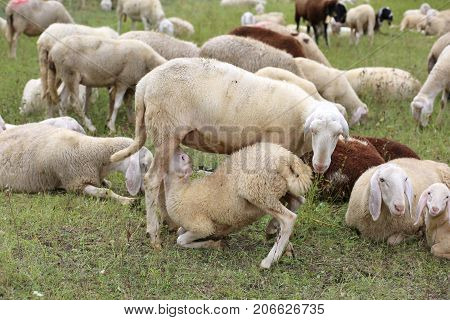 Mother Sheep Feeding Her Lamb In The Midst Of The Flock