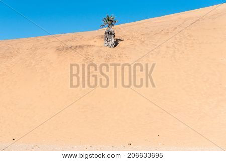 A palm tree engulfed by dune 7 at Walvis Bay in the Namib Desert on the Atlantic Coast of Namibia