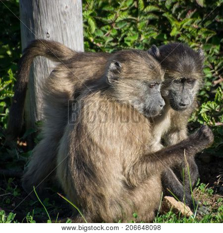 A pair of chacma baboons looking at something curiously, near Cape Town, South Africa.
