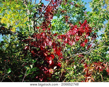 beautiful red leaves on a background of green vegetation and a blue sky in clear weather