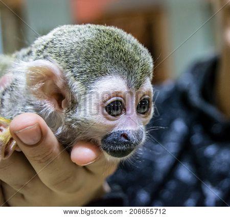 little monkey Saimiri sciureus sits on hands