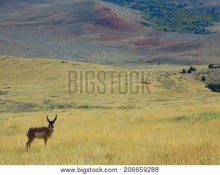 Older pronghorn animal on the hills outside Lancer, Wyoming