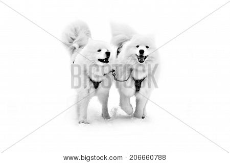 Sled dogs Samoyeds in harness isolated on white. Northern huskies - hardy and strong. Team Husky sled in the winter.