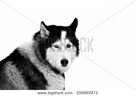 Portrait Sled dogs isolated on white. Northern huskies - hardy and strong. Team Husky sled in the winter.