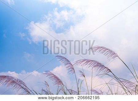 Flower Of Kans Grass Sway In Wind And The Blue Sky
