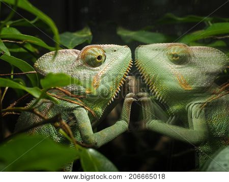 Chameleon looks at his reflection in the glass terrarium