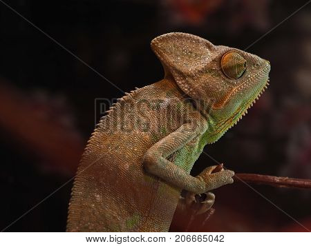 Portrait of a sad chameleon looking into the distance