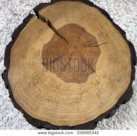 annual growth rings on the circular section of the trunk of a Scots pine tree