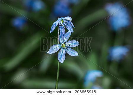 Scilla flower on hand blue close up background